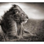004_lion-before-storm-ii