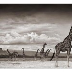 14_giraffes-on-lake-bed