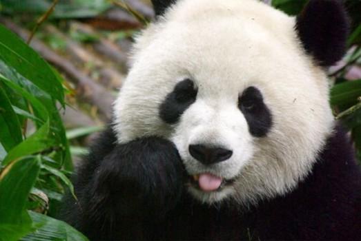 29099 panda 4 523x350 La sangre del panda y sus beneficios como antibiótico.