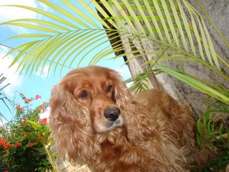 Perrita Bonita Chabela 466x350 Nariz Electrónica que emula el olfato de un perro
