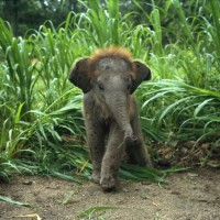 Baby-Asian-Elephant-in-Tall-Grass