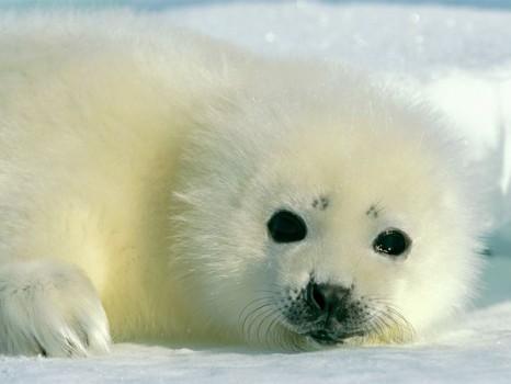 Baby Harp Seal 466x350 Fotografías de Animales Bebes