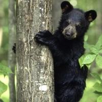 Black-Bear-Cub