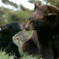 Black-Bear-Mother-and-Cub