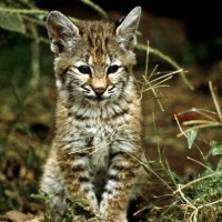 Bobcat-Kitten-in-the-Wild