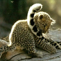 Leopard-Cub-Playing-With-Mothers-Tail