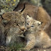 Lynx-and-Cub
