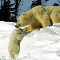 Polar-Bear-Mother-With-Cub