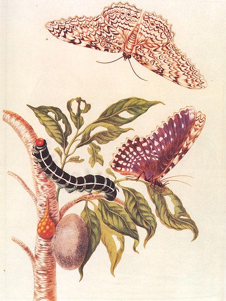 451px-Metamorphosis_of_a_Butterfly_Merrian_1705