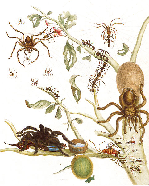 483px-Avicularia-avicularia
