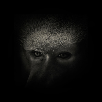 fotos animales salvajes chimpance