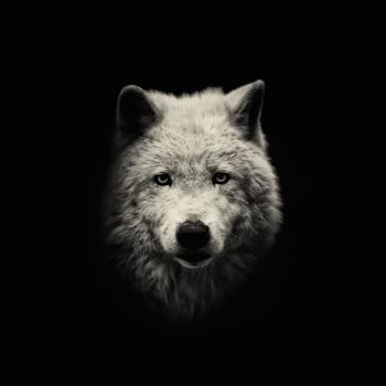 fotos animales salvajes lobo