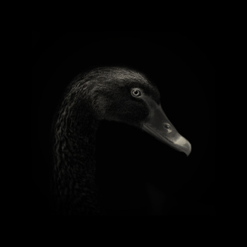fotos animales salvajes pato