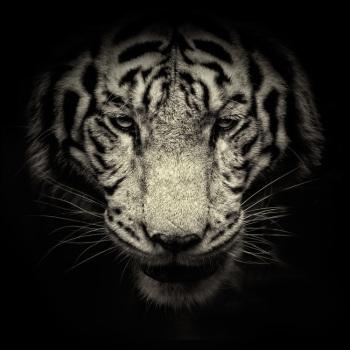 fotos animales salvajes tigre