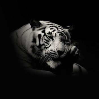 fotos animales salvajes tigre blanco