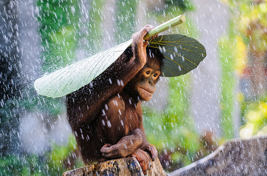 """Orangutan In The Rain"" por Andrew Suryono"