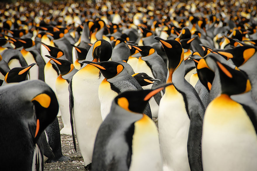"""In A Crowd Of King Penguins"" por Lisa Vaz"