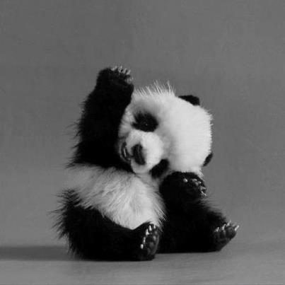 Saludo de un panda