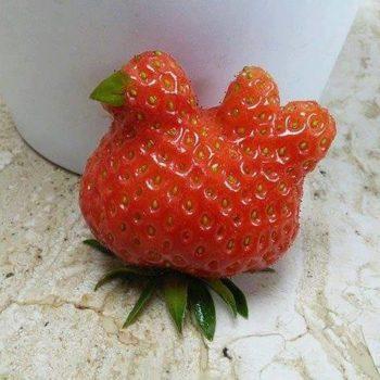 fresa gallina