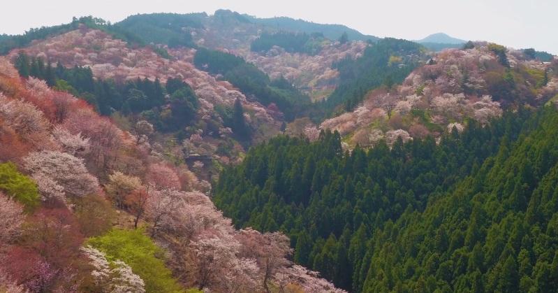 Timelapse muestra como se cubre Japón por Flores de Cerezo