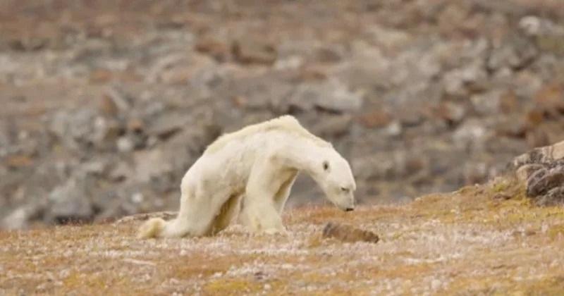 Oso polar hambriento