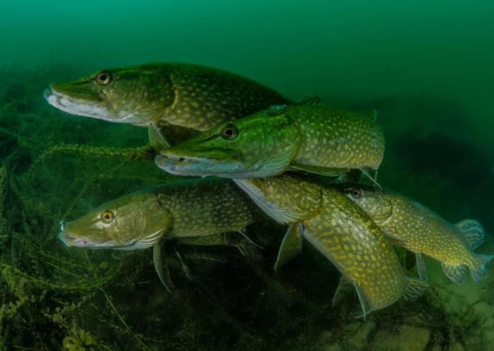 'How many pike?' por Tony Stephenson (Reino Unido)