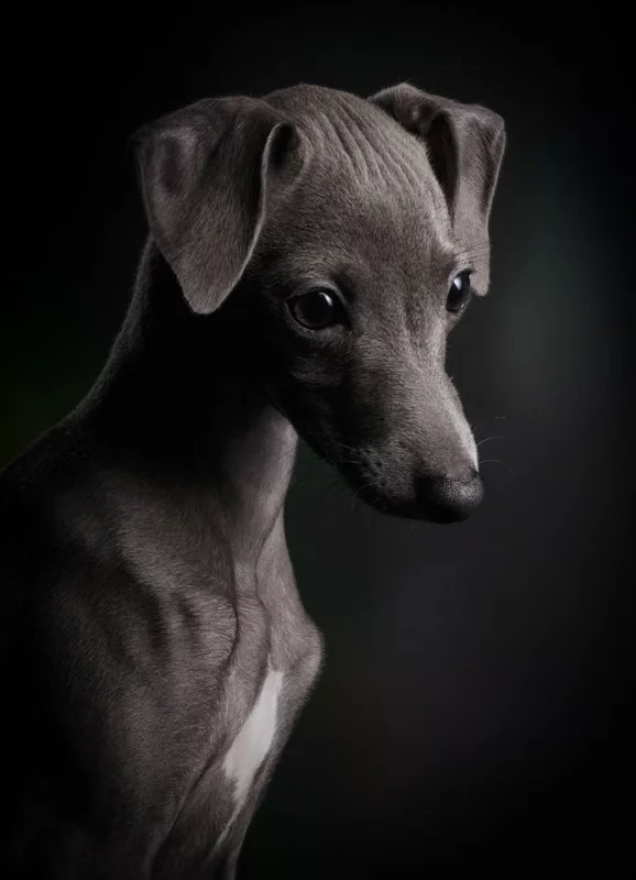 """Puppies"" - ""Little Ceylin"" por Klaus Dyba, Alemania. Galgo italiano."
