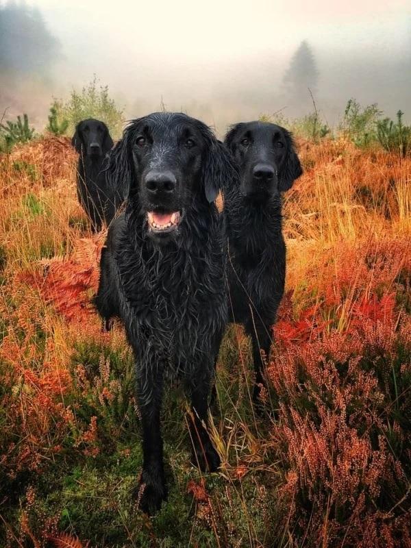 """Dog Portrait"" - ""Glenturret Autumn Gold"" por Carol Durrant, Reino Unido. Retrievers recubiertos planos."