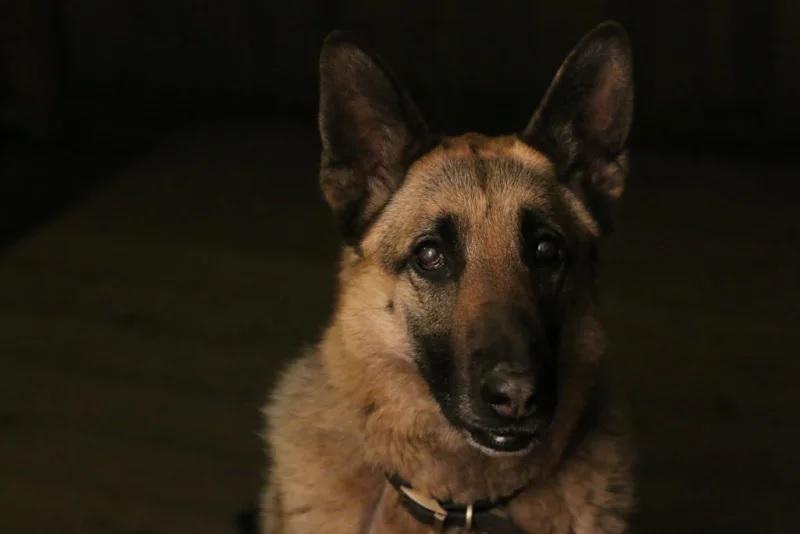 """""""Young Pup Photographer"""" - """"My Best Friend Roxy"""" por Mariah Mobley, Estados Unidos de América (11 años). Pastor alemán."""