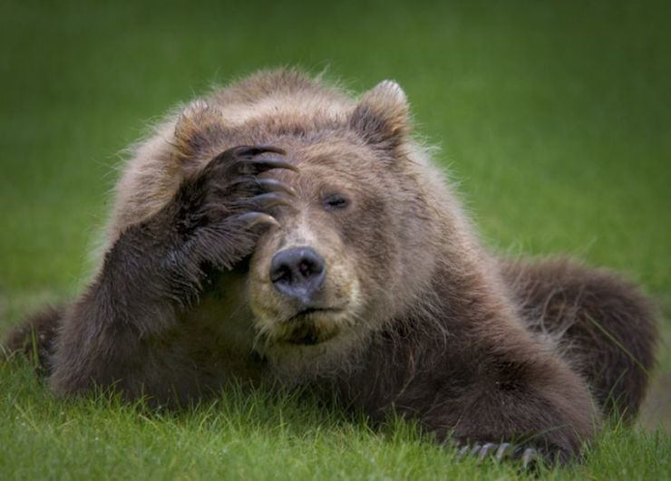 Coastal Brown Bear Cub with Headache por Danielle D'Ermo