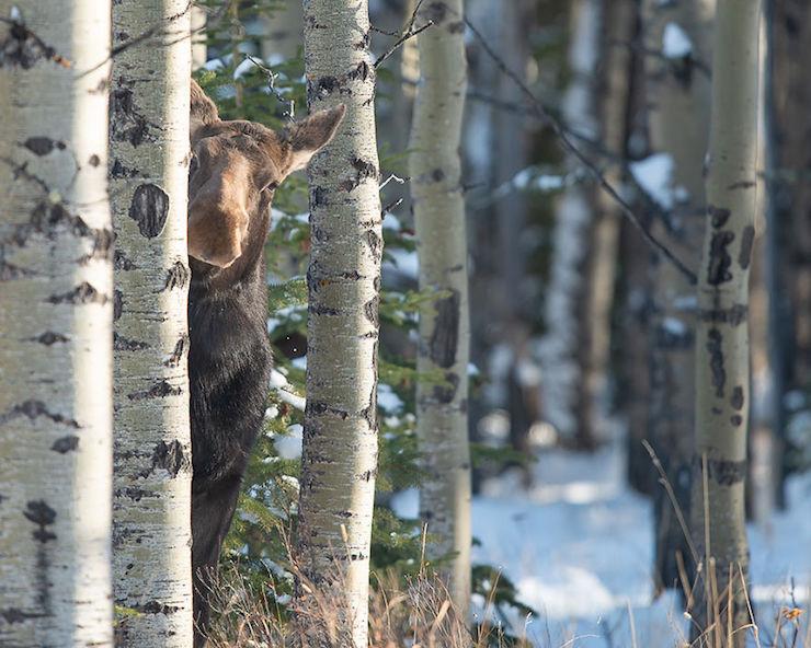 Crouching Tiger Peeking Moose por Jamie Bussey