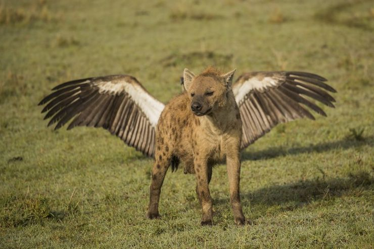 Flying Hyena por Kevin Rooney