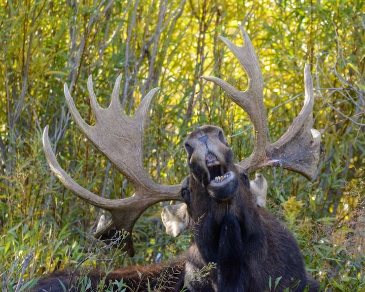 The Singing Moose por Mary Hone