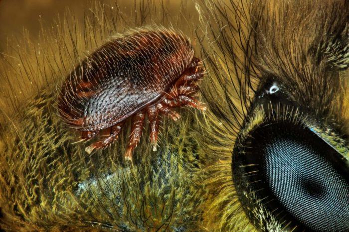 15vo Lugar - Varroa Destructor por Antoine Franck