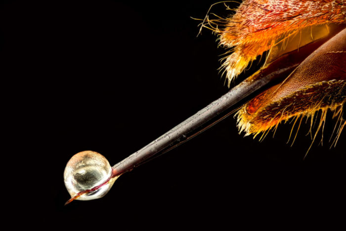 19 Lugar - Aguijon de avispa asiática por Pierre Anquet.