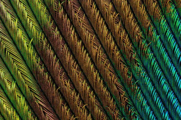 4to Lugar - Plumas de pavo real por Can Tuncer.